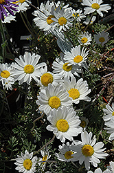 Snow Carpet Marguerite Daisy (Anthemis 'Snow Carpet') at Town And Country Gardens