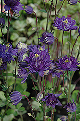 Clememtine Blue Columbine (Aquilegia vulgaris 'Clementine Blue') at Town And Country Gardens