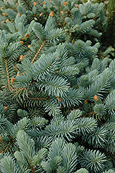 Lundeby's Dwarf Blue Spruce (Picea pungens 'Lundeby's Dwarf') at Town And Country Gardens