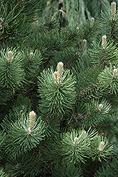 Oregon Green Austrian Pine (Pinus nigra 'Oregon Green') at Town And Country Gardens