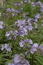 Heaven Scent Jacob's Ladder (Polemonium 'Heaven Scent') at Town And Country Gardens