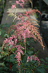 Ostrich Plume Astilbe (Astilbe x arendsii 'Ostrich Plume') at Town And Country Gardens