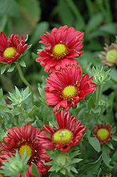 Sunburst Burgundy Silk Blanket Flower (Gaillardia x grandiflora 'Sunburst Burgundy Silk') at Town And Country Gardens