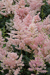 Peach Blossom Astilbe (Astilbe x rosea 'Peach Blossom') at Town And Country Gardens
