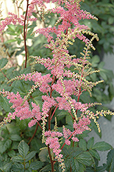 Bressingham Beauty Astilbe (Astilbe x arendsii 'Bressingham Beauty') at Town And Country Gardens