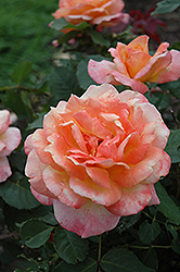 Tahitian Sunset Rose (Rosa 'Tahitian Sunset') at Town And Country Gardens