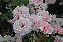 Bonica® Rose (Rosa 'Meidomonac') at Town And Country Gardens