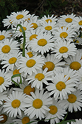 Snow Lady Shasta Daisy (Leucanthemum x superbum 'Snow Lady') at Town And Country Gardens