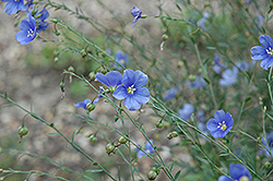 Sapphire Perennial Flax (Linum perenne 'Sapphire') at Town And Country Gardens
