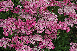 Pink Grapefruit Yarrow (Achillea 'Pink Grapefruit') at Town And Country Gardens