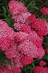 Saucy Seduction Yarrow (Achillea millefolium 'Saucy Seduction') at Town And Country Gardens