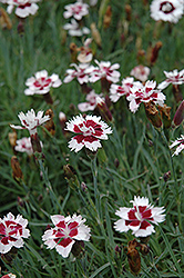 Brilliant Star Pinks (Dianthus 'Brilliant Star') at Town And Country Gardens