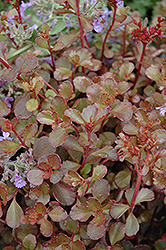 Bronze Carpet Stonecrop (Sedum spurium 'Bronze Carpet') at Town And Country Gardens