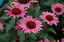 Merlot Coneflower (Echinacea purpurea 'Merlot') at Town And Country Gardens