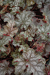 Can Can Coral Bells (Heuchera 'Can Can') at Town And Country Gardens