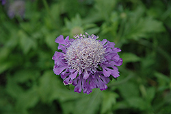 Mongolian Mist Pincushion Flower (Scabiosa superba 'Mongolian Mist') at Town And Country Gardens