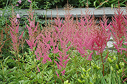 Visions in Pink Chinese Astilbe (Astilbe chinensis 'Visions in Pink') at Town And Country Gardens