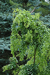 Twisted Baby® Black Locust (Robinia pseudoacacia 'Lace Lady') at Town And Country Gardens