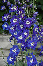 Blue Bird Larkspur (Delphinium 'Blue Bird') at Town And Country Gardens