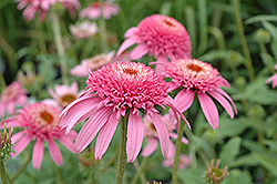 Cone-fections Pink Double Delight Coneflower (Echinacea purpurea 'Pink Double Delight') at Town And Country Gardens