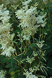 Variegated Queen Of The Meadow (Filipendula ulmaria 'Aureovariegata') at Town And Country Gardens