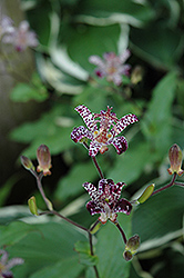 Empress Toad Lily (Tricyrtis 'Empress') at Town And Country Gardens
