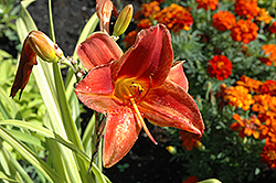Vendetta Daylily (Hemerocallis 'Vendetta') at Town And Country Gardens