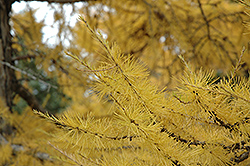 European Larch (Larix decidua) at Town And Country Gardens