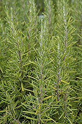 Upright Rosemary (Rosmarinus officinalis 'Upright') at Town And Country Gardens