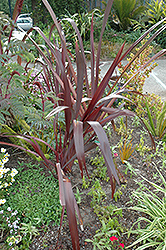 Amazing Red New Zealand Flax (Phormium 'Amazing Red') at Town And Country Gardens