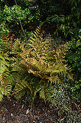 Autumn Fern (Dryopteris erythrosora) at Town And Country Gardens