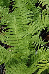 The King Ostrich Fern (Matteuccia 'The King') at Town And Country Gardens