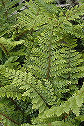 Japanese Tassel Fern (Polystichum polyblepharum) at Town And Country Gardens