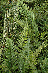 Korean Rock Fern (Polystichum tsus-simense) at Town And Country Gardens