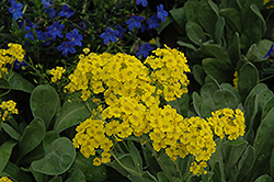 Basket Of Gold Alyssum (Aurinia saxatilis) at Town And Country Gardens