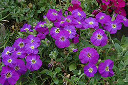 Axcent Violet With Eye Rock Cress (Aubrieta 'Axcent Violet With Eye') at Town And Country Gardens