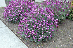 Bowles Mauve Wallflower (Erysimum 'Bowles Mauve') at Town And Country Gardens