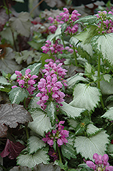 Ghost Spotted Dead Nettle (Lamium maculatum 'Ghost') at Town And Country Gardens