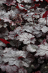 Amethyst Mist Coral Bells (Heuchera 'Amethyst Mist') at Town And Country Gardens