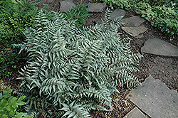 Japanese Painted Fern (Athyrium goeringianum) at Town And Country Gardens