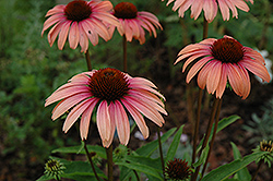 Big Sky Summer Sky Coneflower (Echinacea 'Big Sky Summer Sky') at Town And Country Gardens