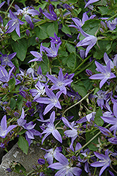 Serbian Bellflower (Campanula poscharskyana) at Town And Country Gardens