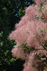Grace Smokebush (Cotinus 'Grace') at Town And Country Gardens