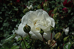 White Dawn Rose (Rosa 'White Dawn') at Town And Country Gardens