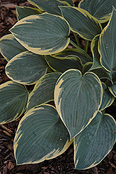 First Frost Hosta (Hosta 'First Frost') at Town And Country Gardens