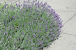 Munstead Lavender (Lavandula angustifolia 'Munstead') at Town And Country Gardens