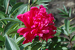 Richard Carvel Peony (Paeonia 'Richard Carvel') at Town And Country Gardens