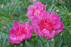 Madame Butterfly Peony (Paeonia 'Madame Butterfly') at Town And Country Gardens