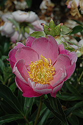 Apple Blossom Peony (Paeonia 'Apple Blossom') at Town And Country Gardens