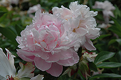 James R. Mann Peony (Paeonia 'James R. Mann') at Town And Country Gardens